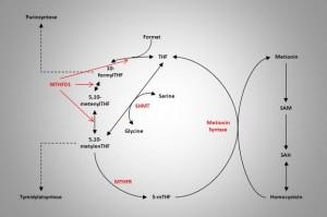 En oversikt over folatmetabolismen med viktige enzymer og funksjoner.