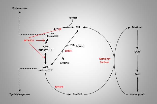 Folatmetabolismen