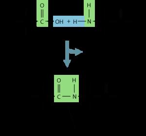 Peptidbinding