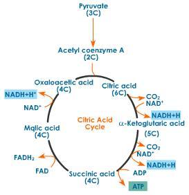 Sitronsyresyklusen, CoA = Koenzym A