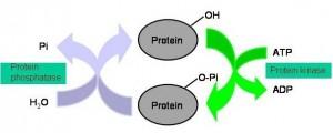 Fosforylering