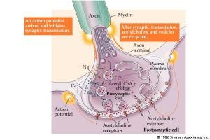 Kalsium nerve