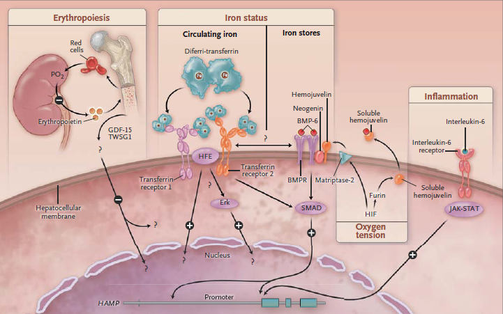 Fleming RE, Ponka P: Iron overload in human disease. N Engl J Med 2012, 366(4):348-359.