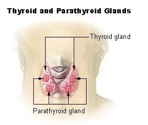 thyroidea