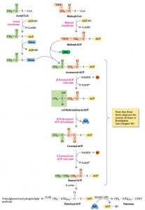 Fettsyresyntese