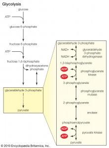 Glykolyse
