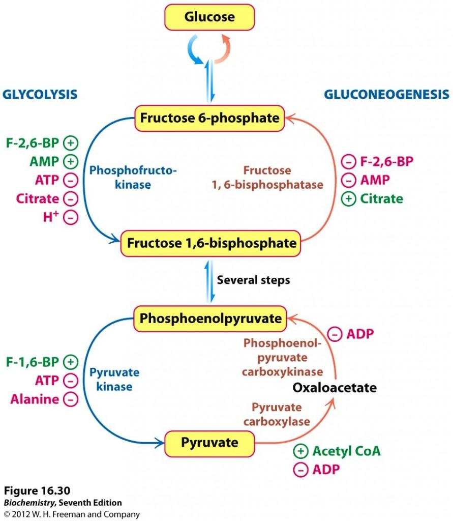 Regulering av glukoneogenese