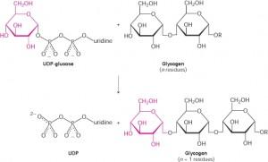 glykogensyntese