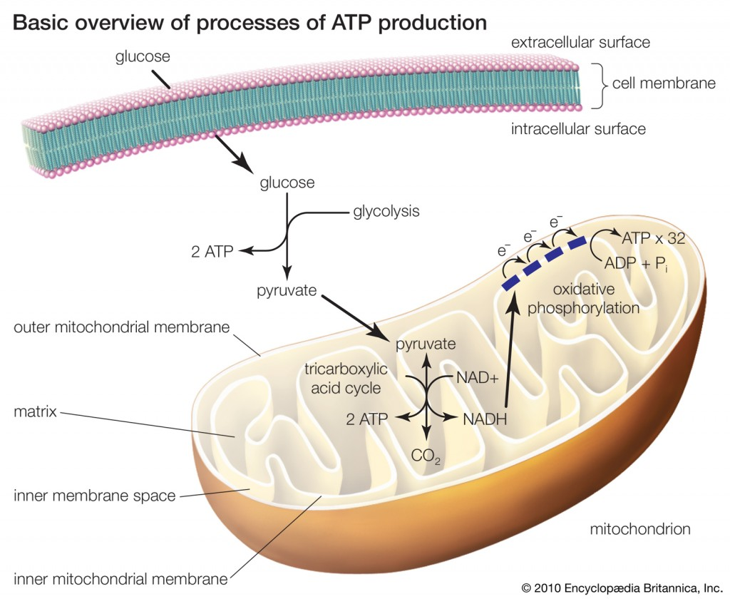 organelle involved in synthesis of oils phospholipids and steroids