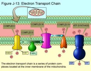 elektrontransportkjeden