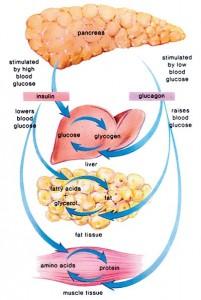 Grov oversikt over effektene av insulin og glukagon