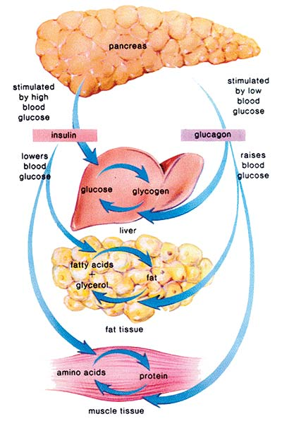 how insulin effects digestion Insulin, medicines, & other diabetes treatments the strongest effect then the effects of the insulin wear off over the of diabetes and digestive and.