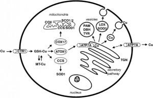 Tumer Z, Moller LB: Menkes disease. Eur J Hum Genet 2010, 18(5):511-518.