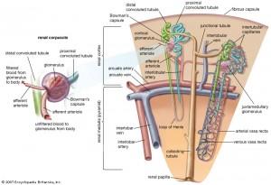 Glomerulus til venstre. Oversikt over nefron til høyre. (Proksimale tubuli i lyseblått, distale tubuli i grønt, samlerør i brunt) Bilde: www.britannica.com