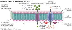 Ulike former for transport over en membran. Bilde: www.britannica.com