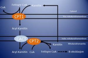 Figuren viser hvordan karnitin kobles til fettsyrene og frakter dem inn i mitokondriet.