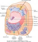 Cellens organeller