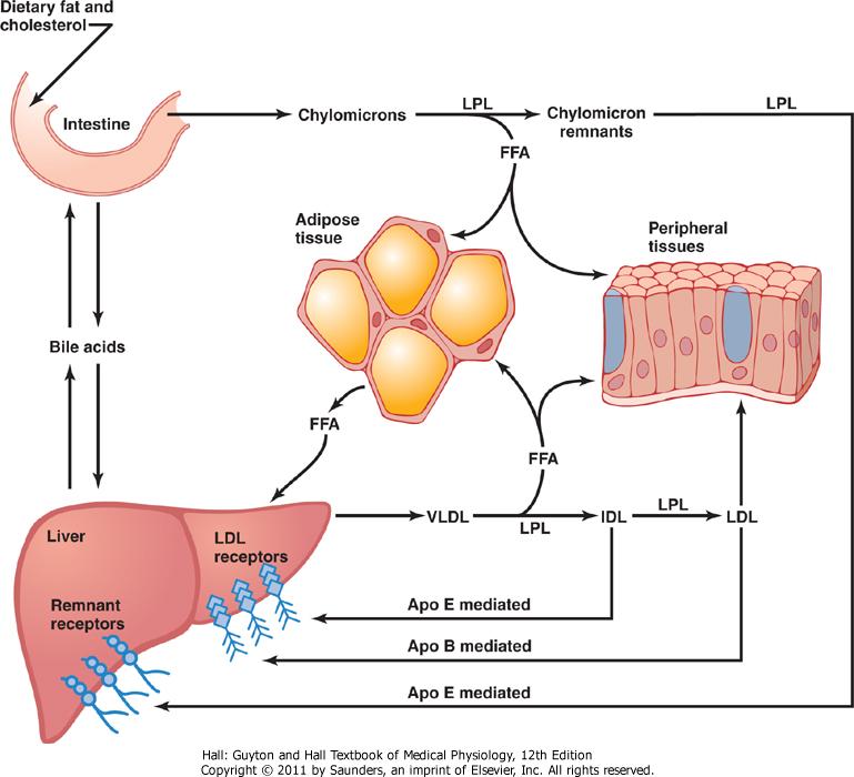 Lipoproteinmetabolisme
