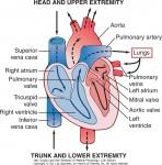 Hjerte oversikt
