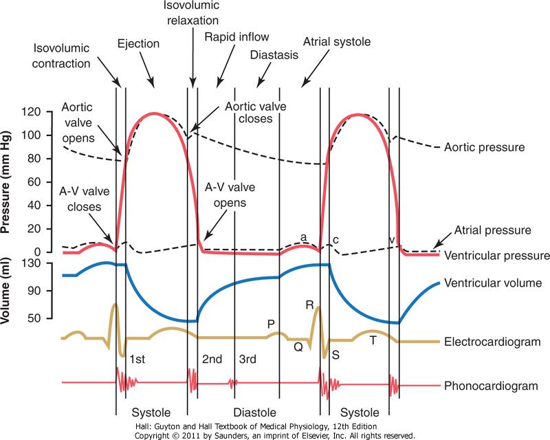 Hjertesyklus