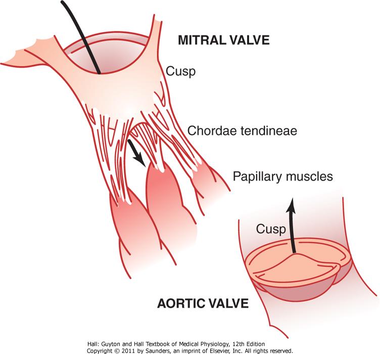 hjerteklaffer