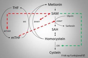 Metyleringssyklus regulering