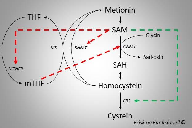 Regulering av metyleringssyklus