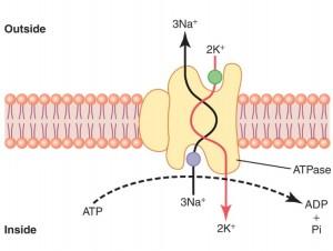 Hva er membran