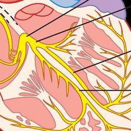Bildet viser hjertets ledningssystem