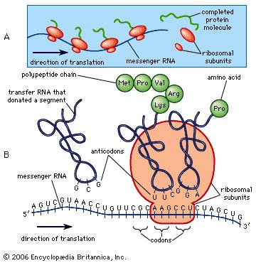 Proteinsyntese