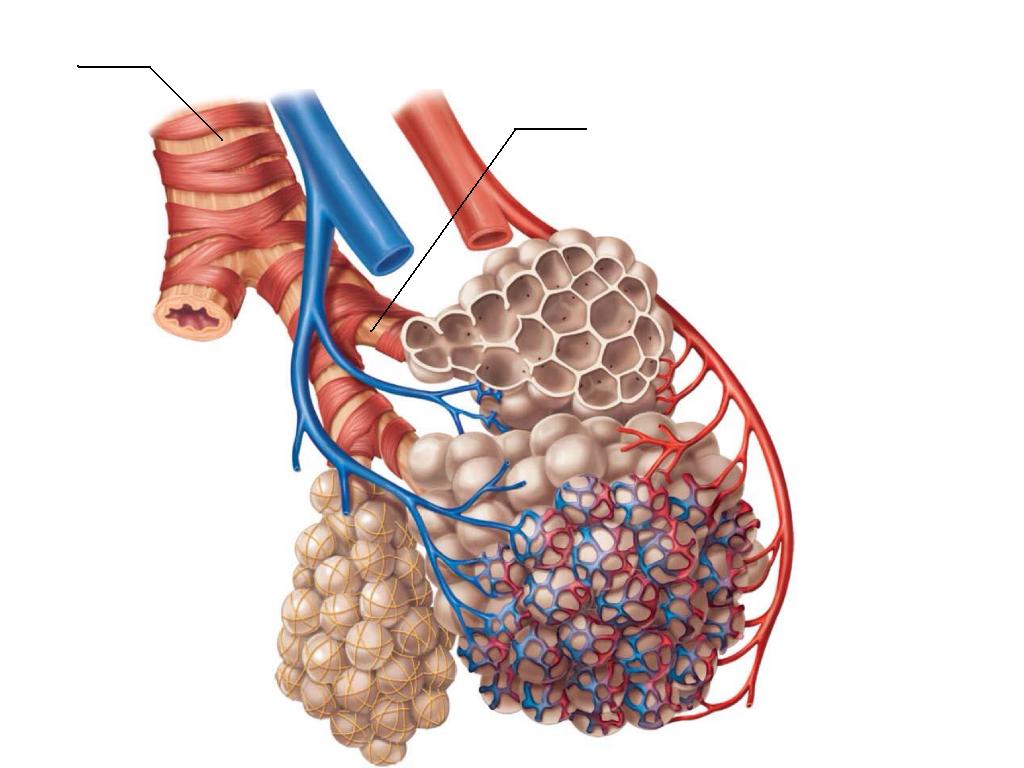 http://s1304.photobucket.com/user/sarahlynn244/media/Anatomy%20142/AlveolitheRespiratoryMembrane2_zps9b813ff5.png.html