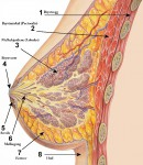 http://commons.wikimedia.org/wiki/File:Breast_anatomy_normal_scheme.png