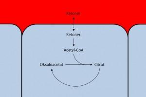Ketonlegemene diffunderer fra blodet og over i cellene. Når mengden oksaloacetat reduseres, vil mindre ketoner tas opp av cellen, og konsentrasjonene i blodet øker.