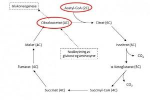 Sitronsyresyklusen, med oversikt over antall karbonatomer og metabolisme av oksaloacetat.