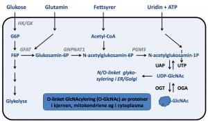 Figur 2. Heksosamin-biosynteseveien. Gjengitt med tillatelse fra Thomas Sæther.